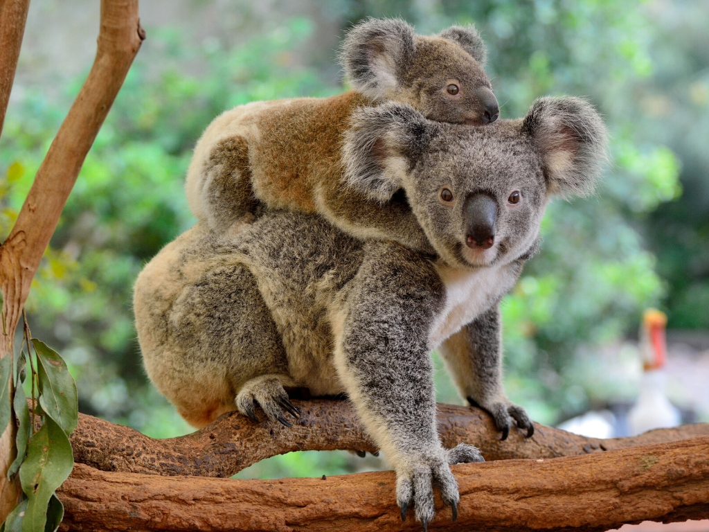 Education studying abroad Koala bears